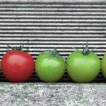 _DSC3118 Tomaten GRÜN ! ROT Kopie2klein